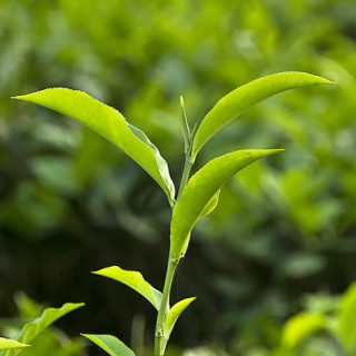 Camellia sinensis (Fotó: Wikimedia Commons)