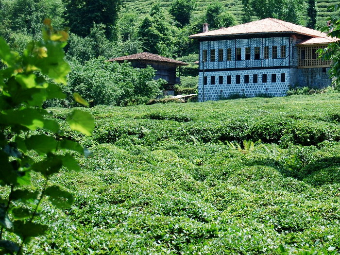 Rize, teaföldek (Fotó: blog.beatthebrochure.com)