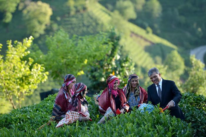 Az előző török köztársasági elnök, Abdullah Gül Rize-i látogatásakor a Çaykur Kutatóintézetében helyi népviseletbe öltözött nőkkel teát szed (Fotó: abdullahgul.gen.tr)