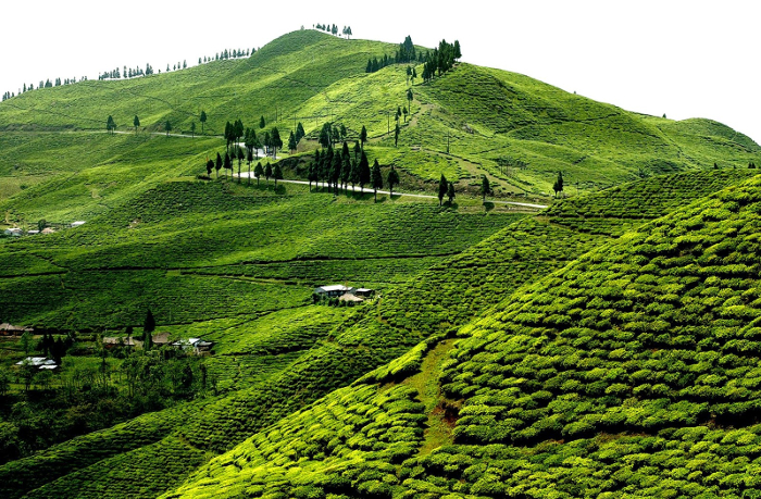 Nepáli teaültetvény, Ilam (Fotó: DorNath Aryal/ dornath.com)