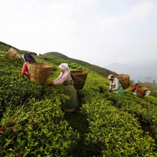 nepal_tea_garden_ap_700